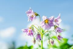 Lila potatisblommor mot bakgrundsnärbilden för blå himmel fotografering för bildbyråer
