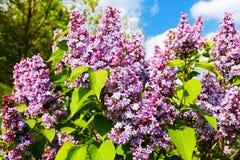 lila purple royaltyfria bilder