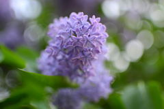 lila purple Arkivfoto