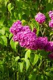 lila purple fotografering för bildbyråer