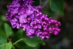 lila purple för blomma Royaltyfri Fotografi