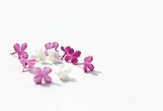 Lila purpura kwitnie itenderness solated biały tło kobiet ` Obraz Royalty Free