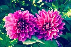 Lila purpurfärgad dahlia Arkivfoton