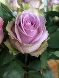 Lila purpurfärgad lavendel steg Arkivbilder