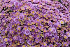Lila purpurfärgade blommor, bukett, stor buske av krysantemum av tusenskönor Utomhus- purpurfärgad krysantemum arkivbilder