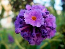 Lila purpurrote Blumennahaufnahme des Sommers Lizenzfreies Stockfoto