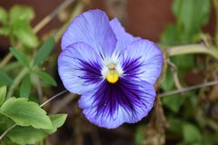 Lila purpurrotes Stiefmütterchen Stockfoto