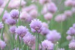 lila roślinność Zdjęcie Stock