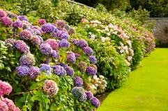Lila-, rosa färg-, blått- och vitvanlig hortensiabuskar i en trädgård i Ire Arkivfoton