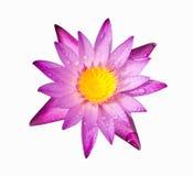 Lila-rosa färger färglotusblomma Royaltyfria Bilder