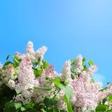 Lila rosada imagen de archivo libre de regalías