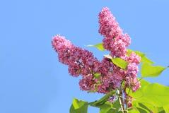 Lila rosada floreciente de la primavera de las flores delicadas contra el cielo azul fotos de archivo libres de regalías