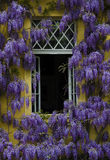 Lila runt om ett fönster royaltyfria foton