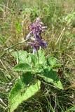 Lila Salbei (Salvia-verticillata) Stockfotografie