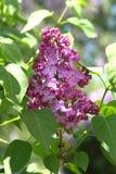 Lila (Syringa) Blumen Lizenzfreies Stockfoto