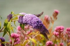 Lila Syringa kwiatu głowa Zdjęcie Royalty Free