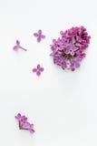 Lila (Syringa vulgaris) imagen de archivo libre de regalías