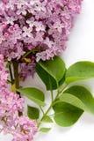 Lila (Syringa vulgaris) Fotos de archivo