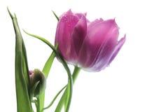 Lila Terry - objeto del tulipán en blanco Imagenes de archivo