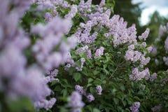 Lila trädblommor på unfocused bakgrund Tjock buske i blom fotografering för bildbyråer