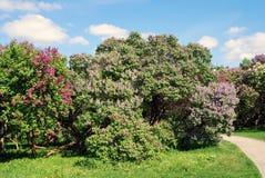 Lila träd Taget i lilaträdgård i Moskva Arkivfoto