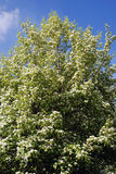 Lila träd Taget i lilaträdgård i Moskva Royaltyfri Foto