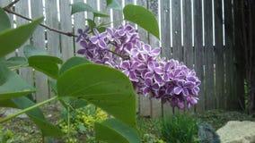 lila tree Arkivbilder