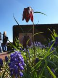 Lila Tulip fotografia de stock