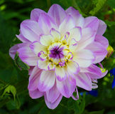 Lila und weiße Blumen stockfotografie