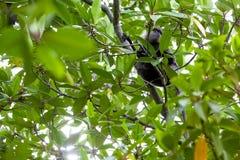 Lila-vänd mot langur - apa Arkivfoton