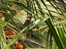 Lila-vände mot langurs, moter och behandla som ett barn och att sitta på en kokosnötpalmträd i naturlig livsmiljö i Sri Lanka arkivbilder