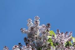 Lila vårlila och blå himmel royaltyfria bilder