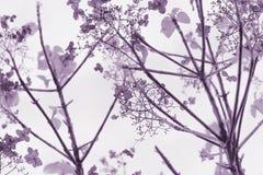 Lila vanlig hortensia på vit backgriund royaltyfria foton