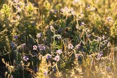 Lila vildblommor bland frodigt gräs i de guld- strålarna av uppsättningen Royaltyfri Foto