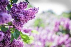 lila violet Arkivbilder