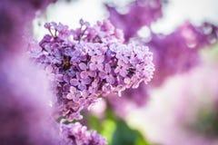 lila violet Royaltyfri Fotografi