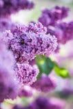 lila violet Royaltyfria Foton