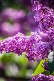lila violet Arkivfoton