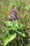 Lila vis man (den Salvia verticillataen) Arkivbild