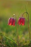 Lila-vit blomma Arkivfoto