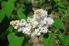 Lila vulgaris syringa, bez Arkivbilder