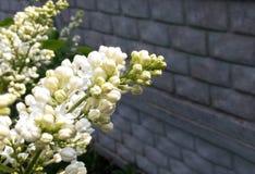 Lila weißes Blühen vor dem hintergrund einer grauen Steinwand Stockfotografie