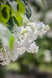 lila white Royaltyfri Bild