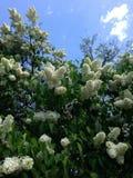 lila white Royaltyfria Foton