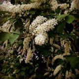 lila white Arkivbilder
