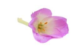 lila white för bakgrundsblomma Royaltyfri Bild