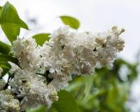 lila white f?r blomma royaltyfri bild