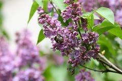 Lila y abeja Lilas o jeringuilla y abeja Flores púrpuras coloridos de las lilas con las hojas verdes Modelo floral Texto del fond Foto de archivo libre de regalías