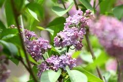 Lila y abeja Lilas o jeringuilla y abeja Flores púrpuras coloridos de las lilas con las hojas verdes Modelo floral Texto del fond Imagen de archivo libre de regalías