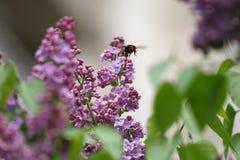 Lila y abeja Lilas o jeringuilla y abeja Flores púrpuras coloridos de las lilas con las hojas verdes Modelo floral Texto del fond Fotos de archivo